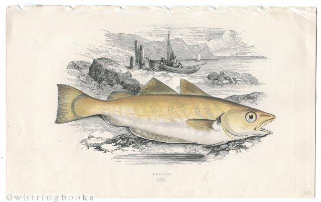 "Image for Whiting Fish Color Plate from ""A History of the Fishes of the British Islands"" (1862-1865)"